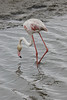 Walvis Bay - Flamingo Feeding