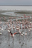 Walvis Bay - Flamingos 33