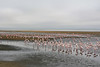 Walvis Bay - Flamingo Flocks