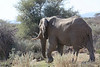 Damaraland - Elephant Crossing the Road - Our First Elephant (3)
