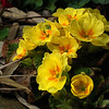 What's blooming right now. primrose