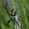 Female black & yellow argiope (Argiope aurantia) in a lavender