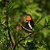 Lorquin's Admiral Limenitis lorquini on incense cedar