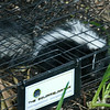 Baby skunk in our squirrel traip.