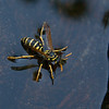 Western yellow jacket (Vespula spp.) in bird bath
