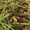 Monarch butterfly on narrow leaf milkweed
