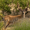 Black-tailed deer,  (Odocoileus hemionus columbianus) n the back yard