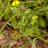 Monarch butterfly (Danaus plexippus) on narrow leaf milkweed (Asclepias fascicularis)