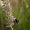 Yellow faced bumblebee (Bombus vosnesenskii) on lavender