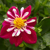 Dahlia 'Starsister Red and White'