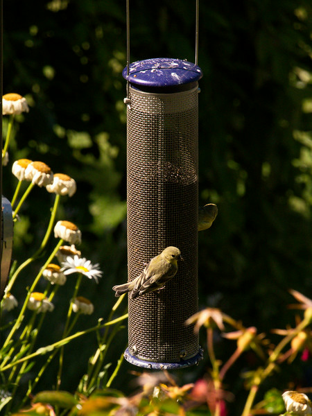 Finches on the feeder