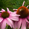 Honeybee on Echinacea