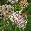 Honeybee on Narrowleaf Milkweed (Asclepias fascicularis)