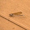 Damselfly on the deck