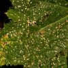 Leaf damage caused by hollyhock weevils