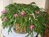 The Christmas cactus is still blooming more than a month after it began!<br /> <br /> 12-7-11