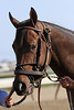 Vengeful Wildcat (Vindication) prior to the Bay Shore (Gr III) for trainer Ben Perkins Jr. and owner New Farm at Aqueduct Racetrack 4/9/11.