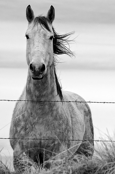 Dec 3 - Horse in Montana  I posted a color version of this picture awhile back and decided to crop it and make it into a black and white.