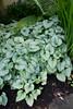 Brunnera macrophylla Jack Frost_6381_Doreen Wynja