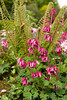 Dicentra x King of Hearts_008