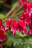 Dicentra Burning Hearts_027