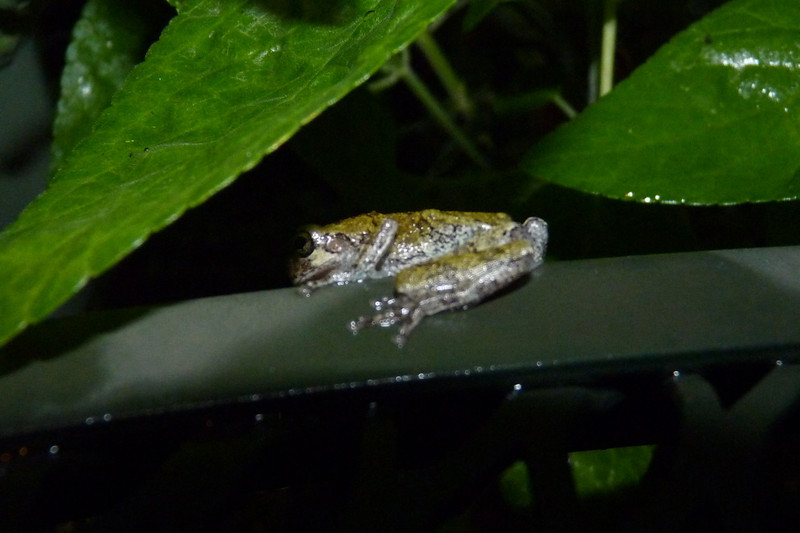 Little frog in the backyard - July 18th, 2012