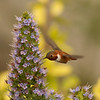 Rufous Hummingbird  Nazareen College Point Loma 2014 04 19-6.CR2