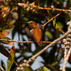 Rufous Hummingbird   Sorrento Valley 2014 04 20-1.CR2