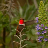 Rufous Hummingbird  Nazarene College Point Loma 2014 04 19-3.CR2