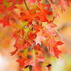 """AUTUMN  OAK.   Colorado.  As if Mother Nature had saved all her passion for one last hurrah, an oak branch blazes with the October color change.  Will print to 23"""" on long dimension.  Click on image for large screen view."""