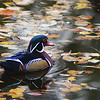 WOOD DUCK in LEAFY POND.  Colorado.  Late October light slants across a cove,  high-lighting a colorful male wood duck .  Printable to 27 inches on the long side.  Click on the preview images for a larger view.  nd