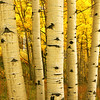 """THROUGH GOLDEN LIGHT.  Colorado.  Late afternoon light filters down through the canopy of golden aspen leaves and turns the woods into a dreamscape.  To 30"""" on the long side. Click on this preview image for a full-screen view."""