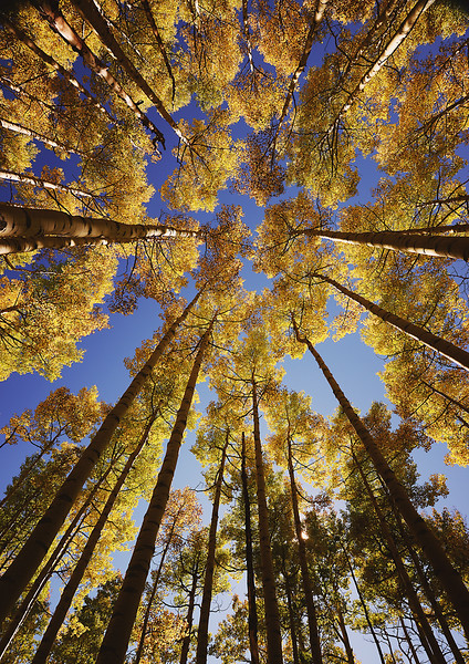 ABOVE and BEYOND.  Colorado.  A favorite perspective of outdoor photographers, the view up through towering trees dramatizes autumn's yellow aspens against the clear blue sky above.  This grove was located south of Telluride.  Printable to 27-inches on the long side.  Click on the preview image for a larger view.  nd