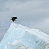 Young Eagle on Iceberg