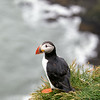 Puffins on the cliffs near Fagurholmsyri in the rain