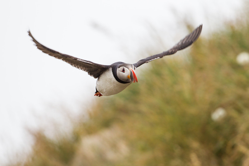 An Atlantic puffin (Fratercula arctica) in flight. Taken at Borgarfjörður Eystri, East Iceland.