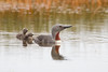 Red-throated diver (Gavia stellata) or red-throated loon with her two chicks. Taken near Bakkagerði, East Iceland.