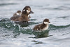 Harlequin ducklings (Histrionicus histrionicus) with their mother.  Taken at Lake Mývatn, Northeast Iceland.