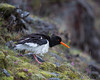 A Eurasian oystercatcher (Haematopus ostralegus). Taken on the Vatnsnes Peninsula, Northwest Iceland.