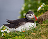 Atlantic puffin (Fratercula arctica). Taken at the cliffs at Látrabjarg, Westfjords, Iceland.