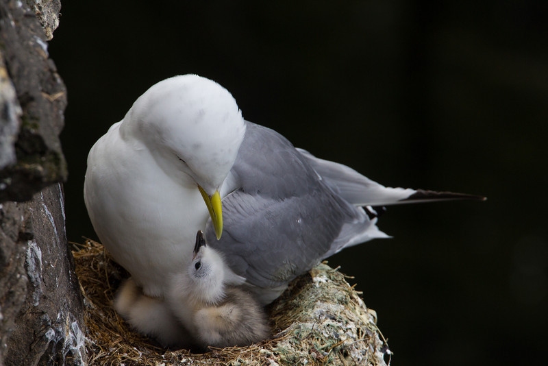 A black-legged kittiwake (Rissa tridactyla) mother looks down at its newly hatched chick. A second chick is tucked underneath the adult, keeping warm. Taken at the cliffs at Látrabjarg, Westfjords, Iceland.
