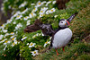 An Atlantic puffin (Fratercula arctica) amongst the daisies known as sea mayweed (Tripleurospermum maritimum). Taken at the cliffs at Látrabjarg, Westfjords, Iceland.