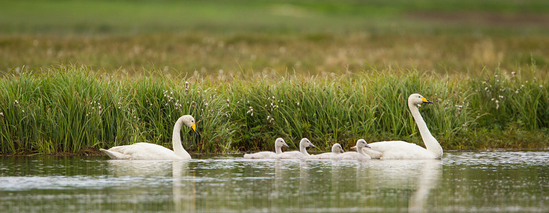 A pair of whooper swans (Cygnus cygnus), proudly take their cygnets out for a paddle around the pond. Taken near Berufjörđur, West Fjords, Iceland.