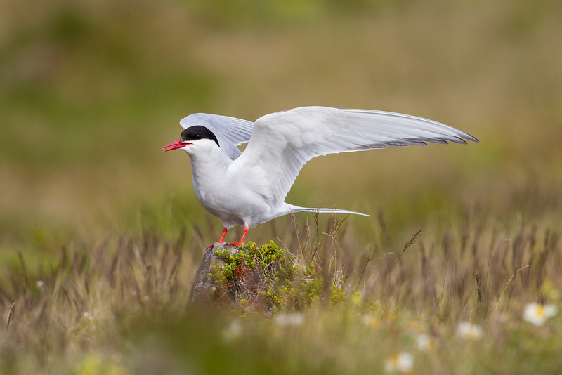 An arctic tern (Sterna paradisaea). Taken near Hellisandur on the Snaefellsnes Peninsula, in West Iceland, Iceland.