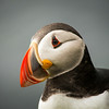 Puffin Close Up