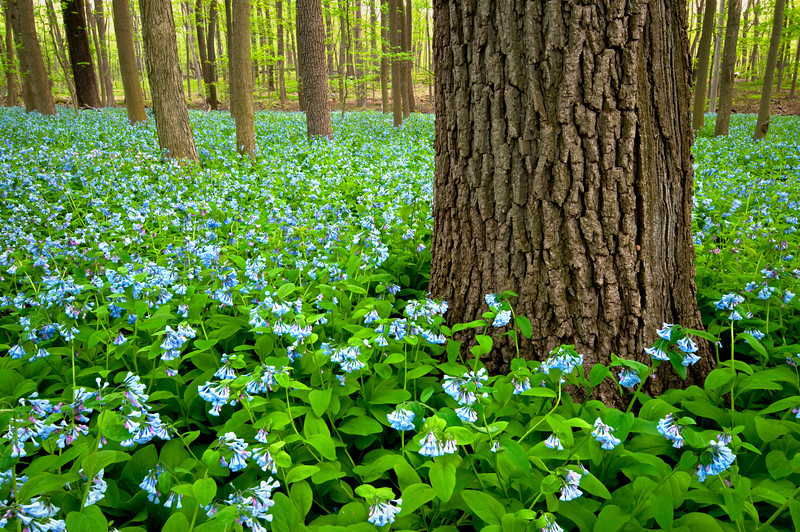 ARB122H                        The spring woods comes to life as Virginia bluebells bloom in the East Woods of The Morton Arboretum, Lisle, Illinois.