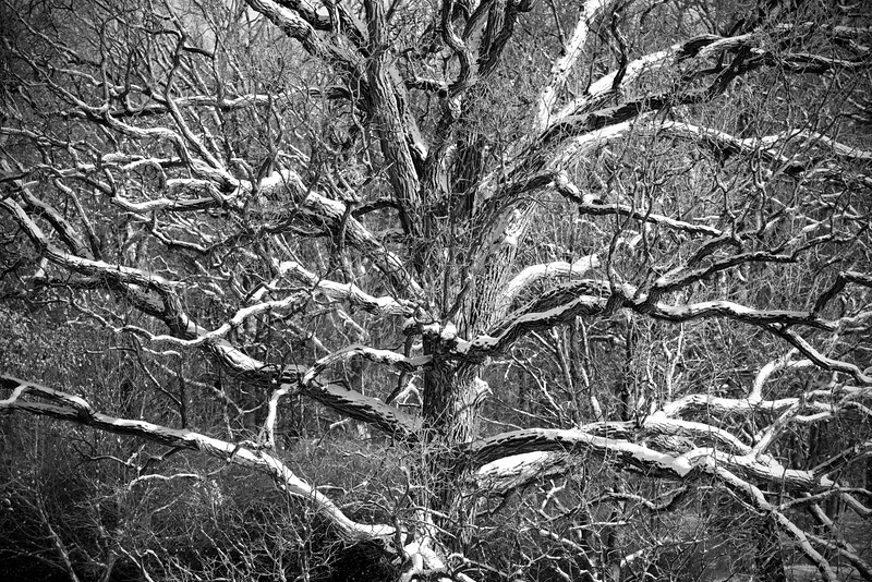 ARB133H B&W                  Early morning light brings out the contours of every snow-covered branch of this massive old oak. The Morton Arboretum, Lisle, Illinois.