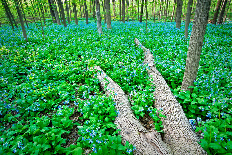ARB114H                      Virginia bluebells bring the East Woods to life as winter gives way to spring at The Morton Arboretum in Lisle, Illinois.