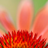 Sharp & Soft - Echinacea