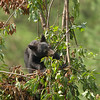 Black bear cub eating cherries.
